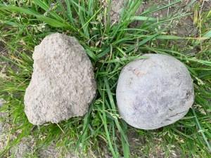 skagit agriculture-potato-and-dirt-clod