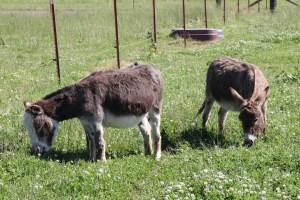 JF-Mini-Donkey-Ranch-Grazing