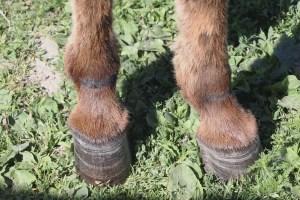 JF-Mini-Donkey-Ranch-Hoofing-It