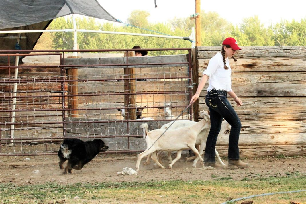 Skagit County 4h Anna Hansen herding