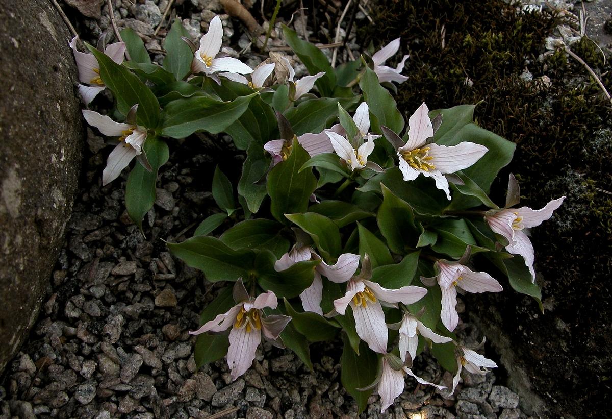 Trillium ovatum f. hibbersonii. Foto: Inger Frändås.