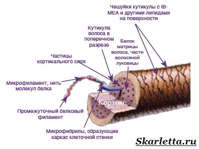 Строение-волоса-3