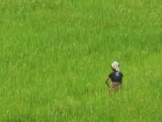 risodlingar vid Mae Kok River