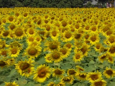 Sunflowers at Jim Thompsons farm