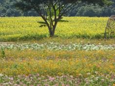 Colorful flowers at Jim Thompson farm