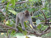 Long tail macaques