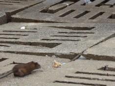 Rats at the waterfront in Sandakan