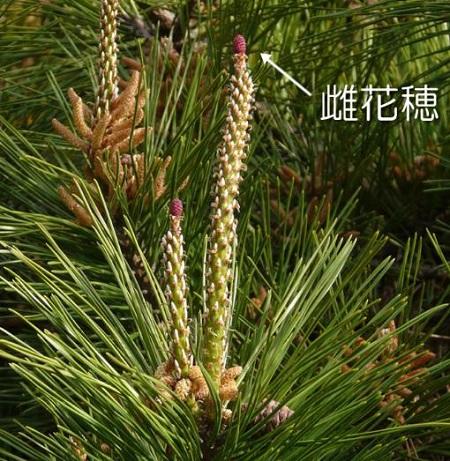 松の花雌花穂