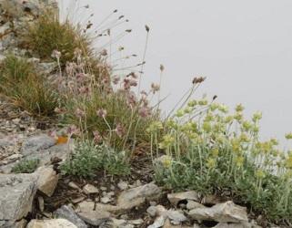 オリュンポス山・崖に咲く花