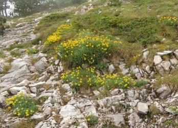 オリュンポス山・黄色い花群落