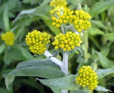 ゴギョウの花