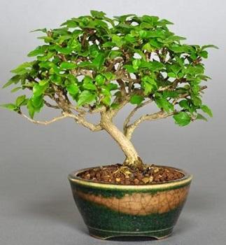 盆栽(かえで)