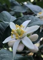 仏手柑の花