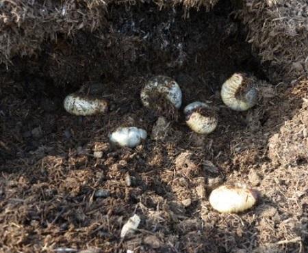 堆肥の中で育つカブトムシの幼虫