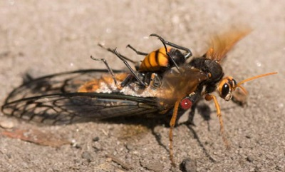ハチに食われるセミのむくろ