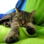 Ленивая кошка