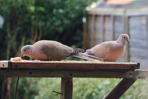 Collared Doves - Dinning