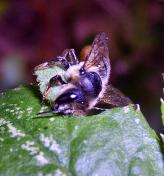 Megachile (Megachile) centuncularis - Leaf Cutter Bee