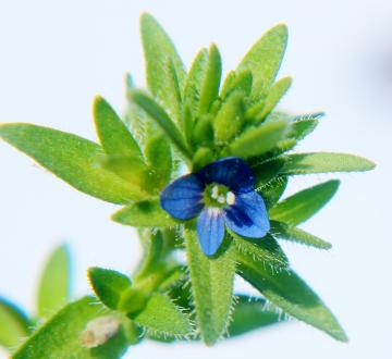 Veronica arvensis flowering head
