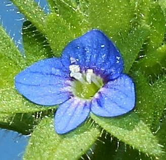 Veronica arvensis close up