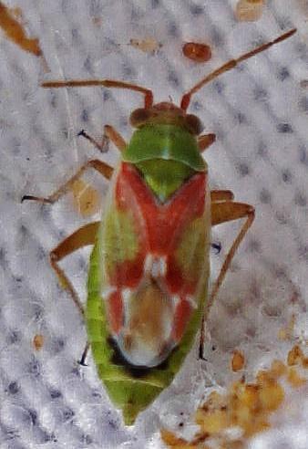 Conostethus venustus ♀