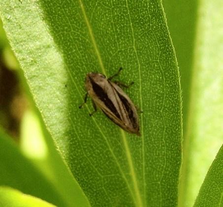 Philaenus spumarius - Common Froghopper