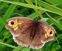 Meadow Brown Maniola jurtina (Linnaeus, 1758)