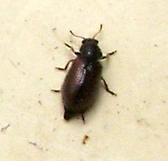 laricobius-erichsonii