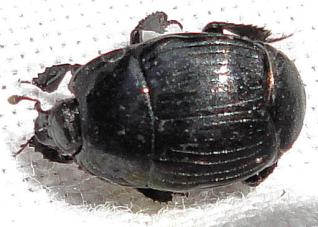 margarinotus-ptomister-brunneus