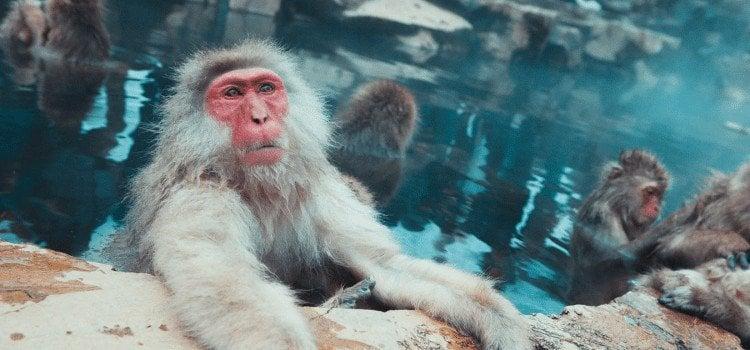 17 motivos para você nunca querer ir ao Japão - macaco onsen 3