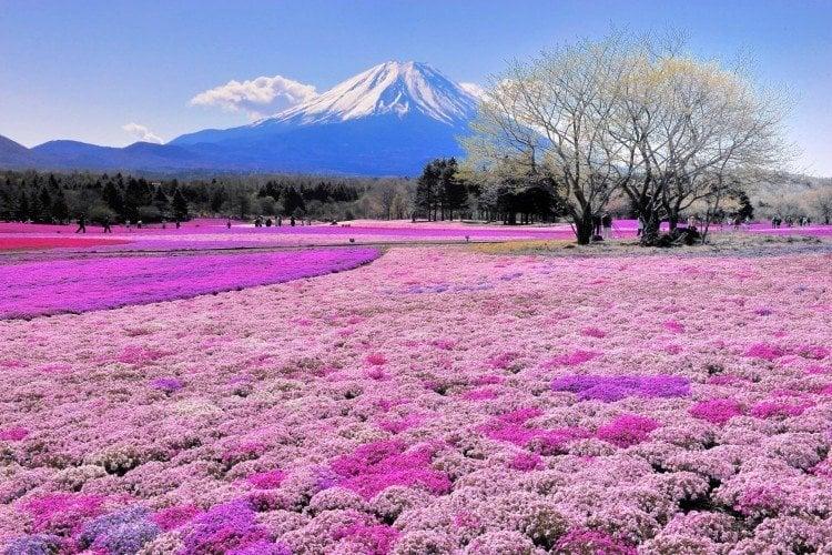 Japão aos olhos dos brasileiros - Generalizações - festival das flores shibazakura 1