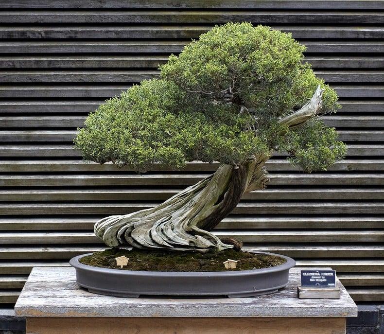 Bonsai - Árvores em miniatura - bonsai arvorinha 3