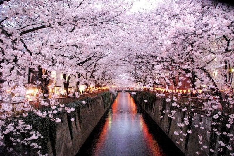 Qual a melhor época para visitar o Japão? - hanami sakura rio 1