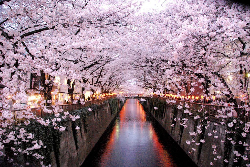 Hanami - Apreciando as flores - hanami 1