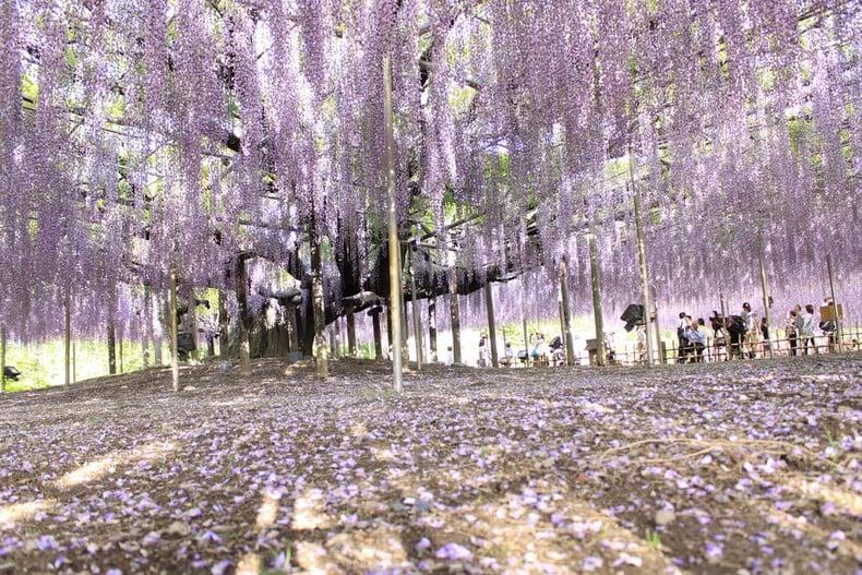 Ashikaga - Curiosidades e Atrações - parque flores ashikaga 2