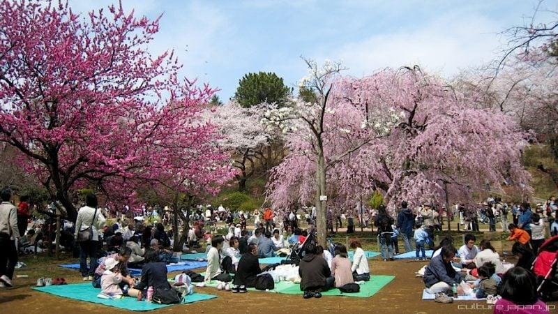 Hanami - Apreciando as flores - ver flores hanami 2