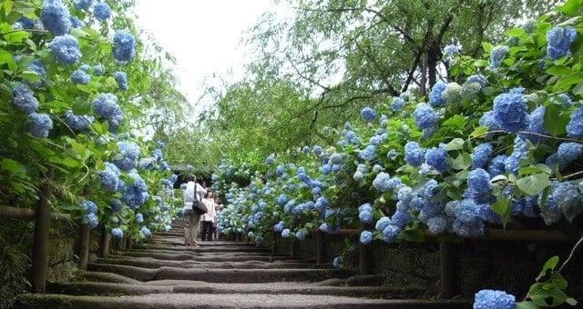 Hortênsia - A flor do Verão - flores hortensia 1