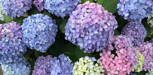 Hortênsia - A flor do Verão - hortensia flores 2
