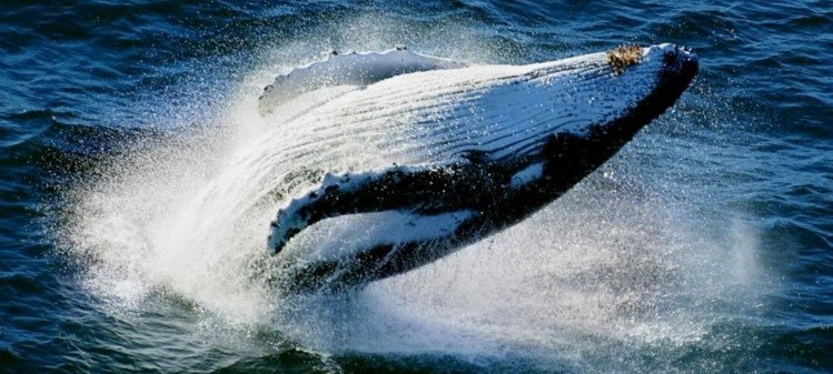 5 Animais da fauna japonesa ameaçados de extinção - baleias 2
