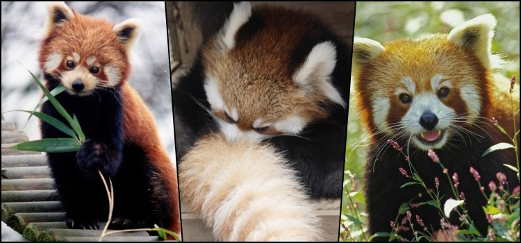 ¿Conoces al pequeño panda rojo?