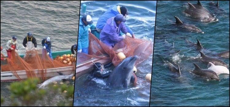 Os japoneses matam e comem golfinhos? - golfinhos 2