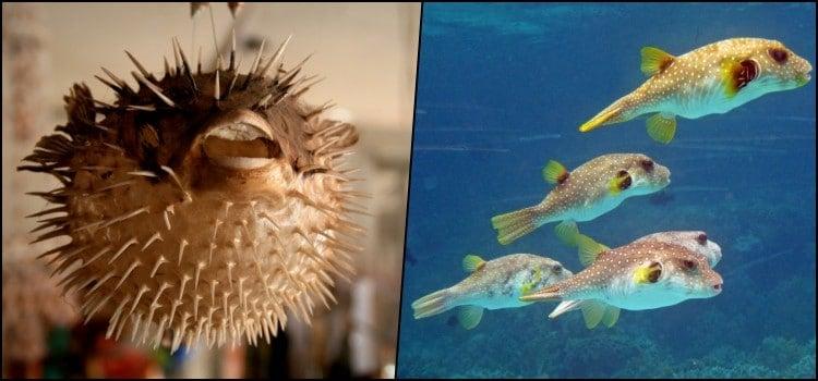 Fugu - món cá nóc có thể giết người