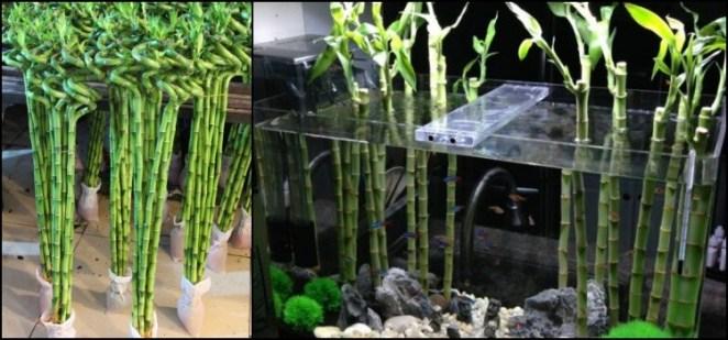 Bambu da sorte japonês - Curiosidades e Dicas