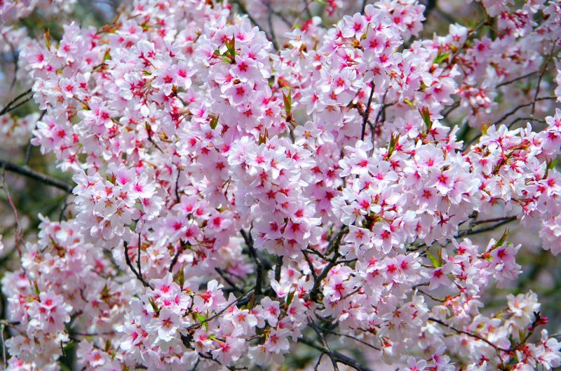 Guide hanami - disfrutando de las flores en japón