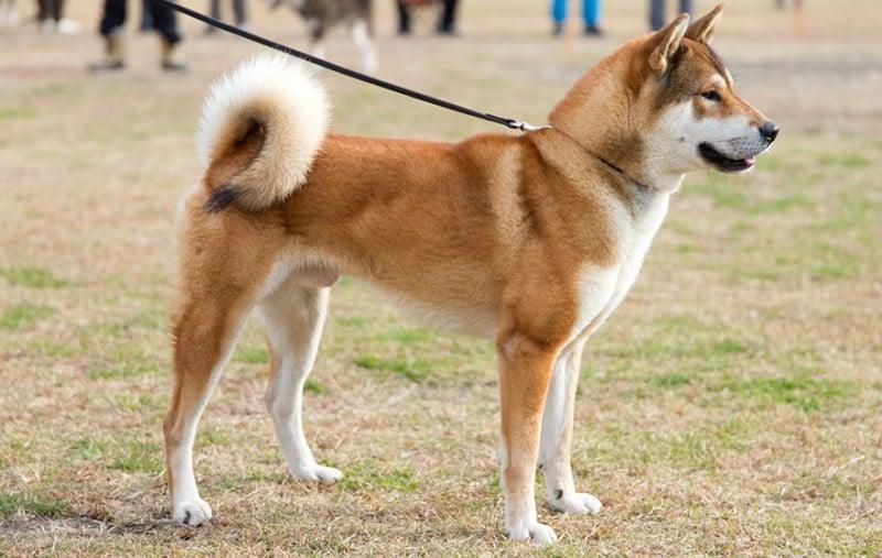 Shikoku inu - the kochi region dog