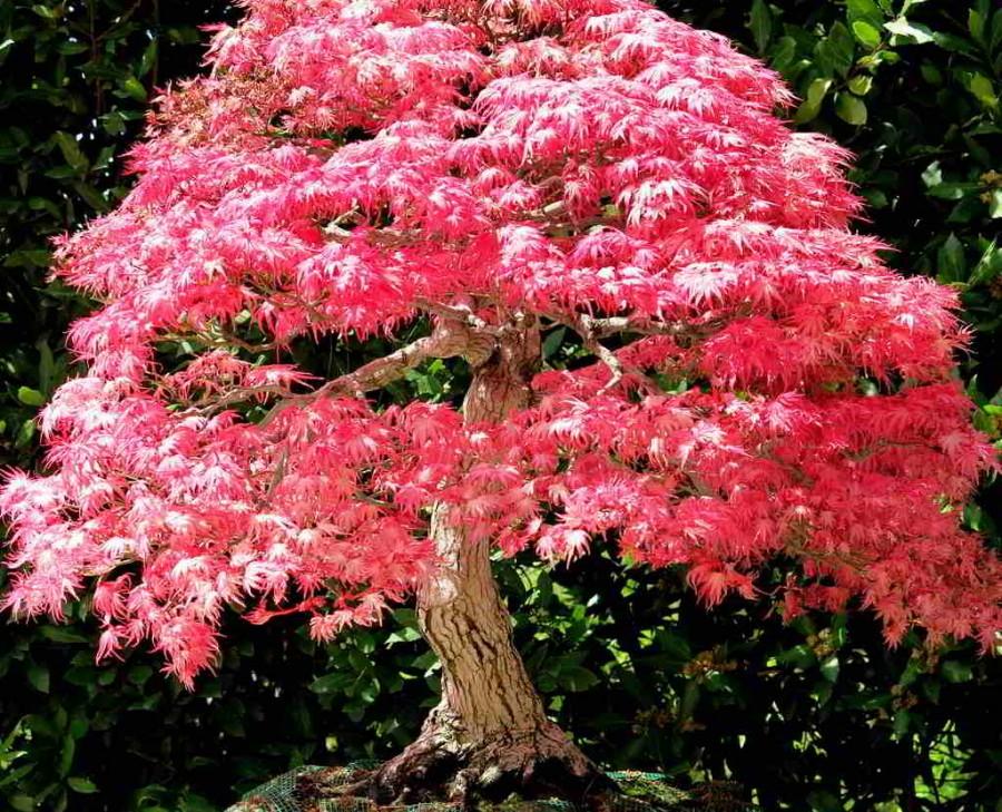 Tudo sobre o bordo japonês: uma das plantas mais bonitas que existem