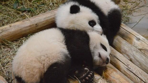 Baby Pandas: Video of Jia Panpan and Jia Yueyue