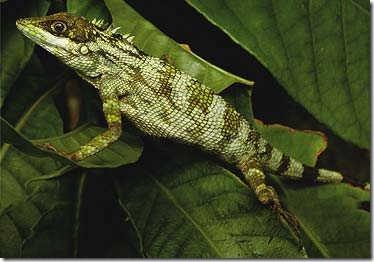 Species_Lizard