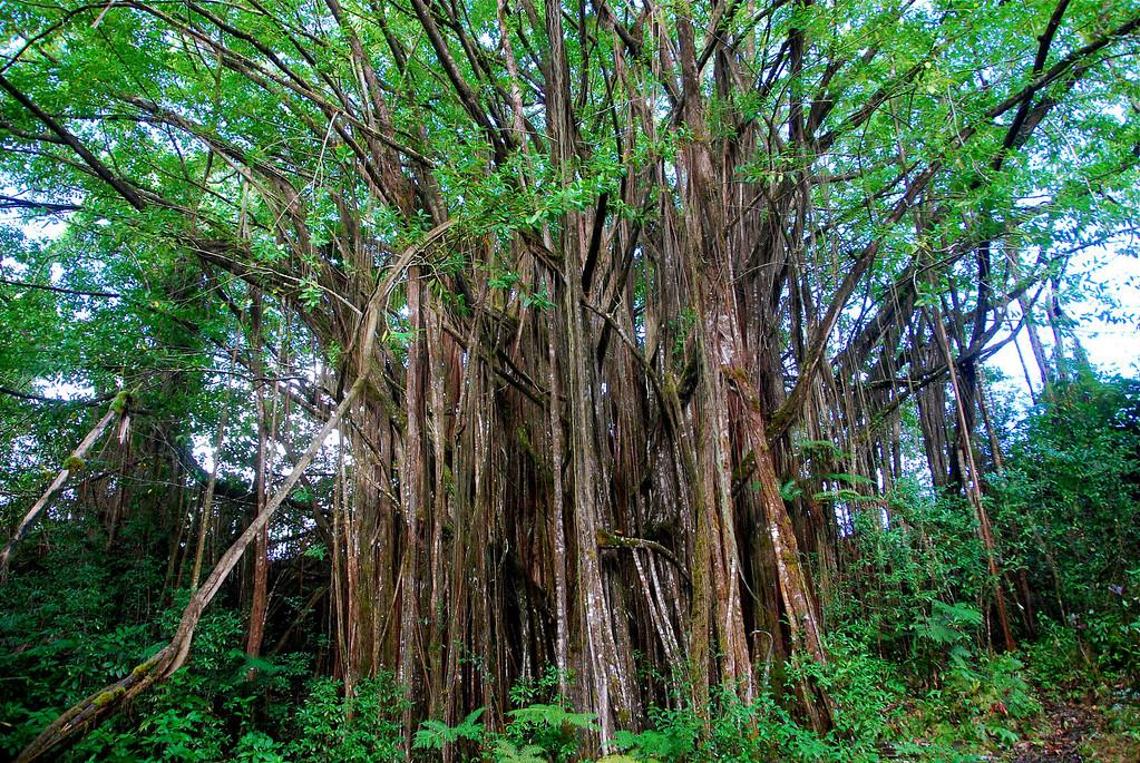 Léggyökerű fügefa