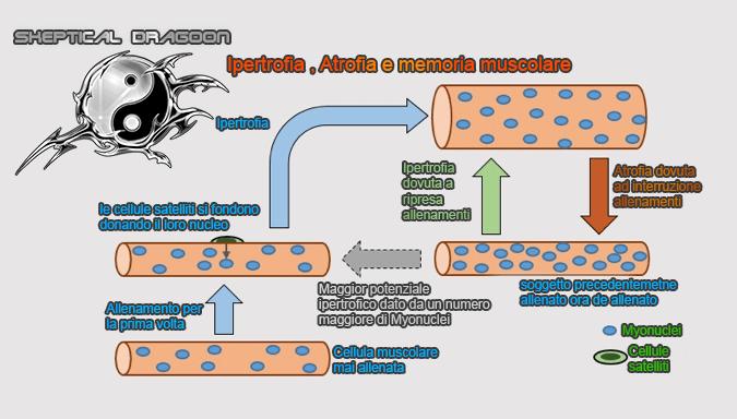myonuclei